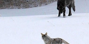 Coyotes meeting  recently reintroduced wolves.