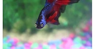 The Betta does emote.