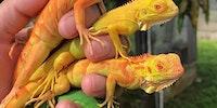 Taste the iguana.