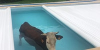 Hey Maud, there's a cow in the pool.