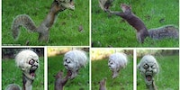 Squirrel plays with Halloween mask hung in yard for kids.