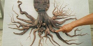 An Octopus found in Japan that has 96 tentacles...