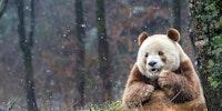 Qizai, the brown panda