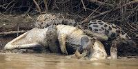 Mammal versus Reptile