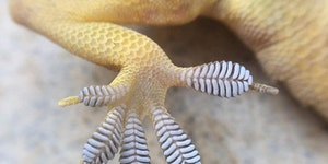 Gecko feet scale walls