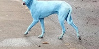 Blue dogs spotted in India thought by locals to be an incarnation of Shiva; experts say they likely swam in highly polluted water