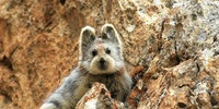IIi Pika's are just plain adorable.