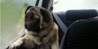 Introspective pug.