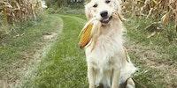Corn doggo