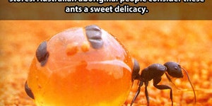 Honey pot ants.