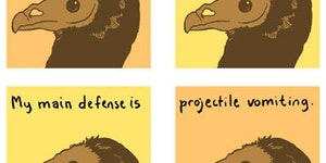 I am a turkey vulture.