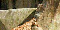 Giraffe in an alternate universe.