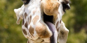Derp Giraffe
