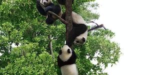 OMG Panda Tree