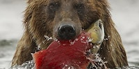 Brown bear with freshly caught salmon, Katmai National Park, Alaska