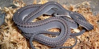 The Dragon Snake: One of the worlds rarest snakes