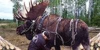 Guy raises abandoned moose calf along with his horses and trains it to help out with lumber removal. Absolute beast.
