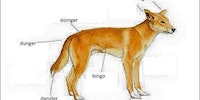 Anatomy of a dingo.