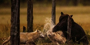 Bear punching a wolf. Damn nature...