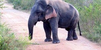 Elephant with dwarfism, about 5ft tall and fully grown