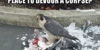 A falcon killed a seagull at Fred Meyer. He was surrounded by horrified onlookers