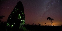Fireflies took over a termite mound and their larvae make it glow at night.