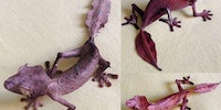 The satanic leaf gecko