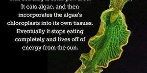 Self sufficient sea slugs.