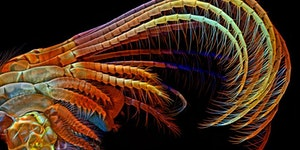 The appendages of a barnacle under a confocal microscope