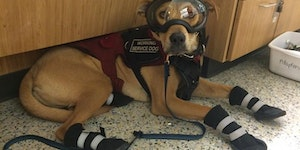 This service dog wears all the personal protective equipment while in the lab