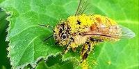 Pollen drunk.