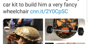 LSU veterinarians created a removable wheelchair for an accident-prone turtle.