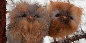 Ewok owls