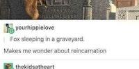 Fox sleeping in a graveyard