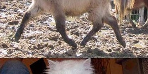 24 Tragically shaved animals.