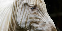 Zoe, only 'white Zebra' remaining on Earth. It has blue eyes and golden rays.