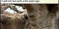 This is a Baobab tree.