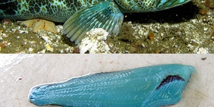 [NSFV] The Blue Lingcod has blue flesh.