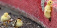 Rock climbing ducky.