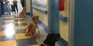 Therapy dogs are impatiently waiting to see their patients at a children's hospital.
