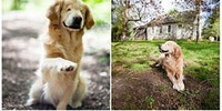 Golden retriever born without eyes brings joy to humans with disabilities