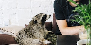 There's a coffee shop in Poznań, Poland called Szop, where you can enjoy your coffee while petting their friendly raccoon, Rocky.