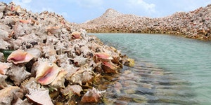 British Virgin Islands fishermen have been tossing empty shells into the 30-feet deep seabed for 800 years.