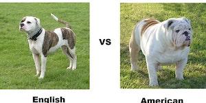 English Bulldog vs. American Bulldog.