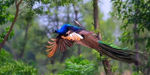 Flying peacocks are freaking majestic.