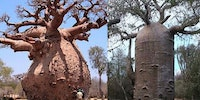 The Baobab Tree can Store up to 32,000 Gallon of water in its Trunk