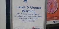 Goose alert!