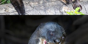Giant otters are terrifying.