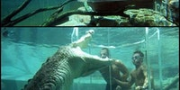 Swimming with alligators.