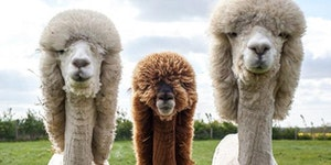 These Llamas could rock an album cover